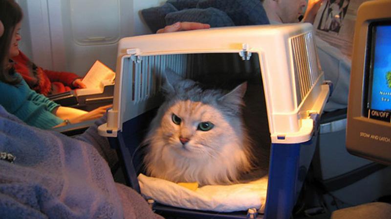Советы по перевозке по России кошек в самолете