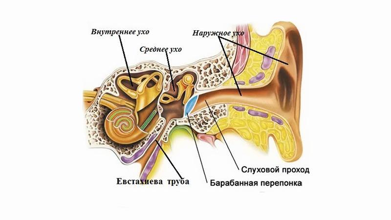 Почему в самолете закладывает уши: строение уха